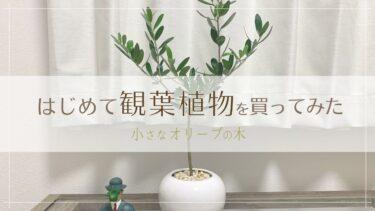 観葉植物初心者がオリーブの木を買ってみた 〜在宅ワークに癒しを〜